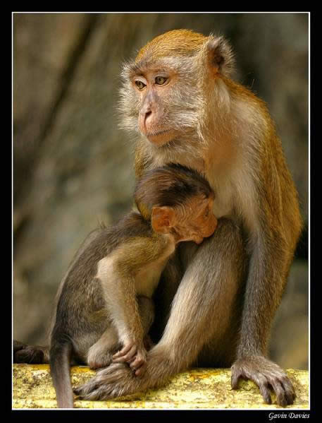 kl-macaque-mother-and-child