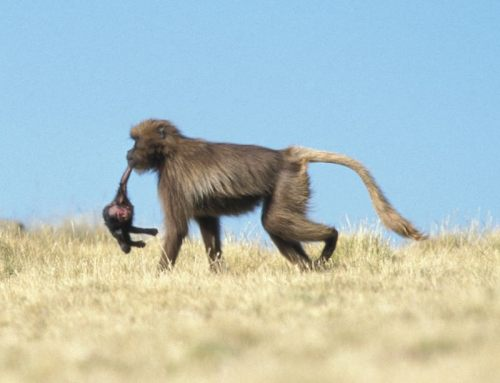 infanticide_baboon